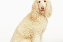 Poodle Love! / Poodles, dogs, standard poodles, toy poodles / by Michelle Chait