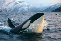ORCAS! (& friends) / Everything whale(ish)  lol / by Laura Eckard