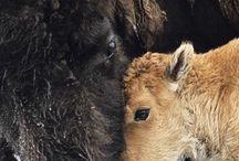 Buffalos and Huckleberries / by Kara Nagelmaker