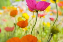 I Love Poppies! / by Kathy Laws