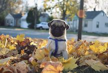 Pugalicious / All things pug related  / by Jenni Holzhauer