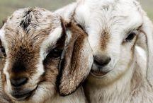 Goats. / by Katy Nelligan