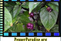 Purple Bhut Jolokia Ghost Pepper Seeds and Plants / by Bhut Jolokia