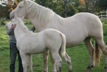 American Cream Draft Horses / Cream of the crop for the draft horses...JMO!  / by Kathleen Collins