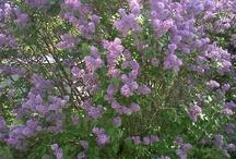 purple love / by Jo Carlton