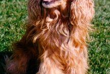 101 COCKER SPANIELS / Dog lovers unite. / by Lauren Biondo