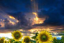 Sunflowers :-) / by Ashley Gammill