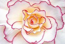 Roses / by K.A.M. GreenOaks