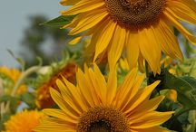 Sunflowers / by Kay Ferriter