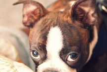 BOSTON love / Everything boston terrier. most beautiful dog on earth! / by Misty Brezillac