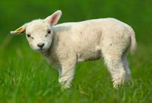 Lamb/Sheep / Board dedicated to everything lamb/sheep related.  / by Ania Kozlowska-Archer