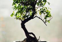 Bonsai / by Lisa Rogers