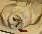 Save Britain's Barn Owls / Britain's Barn Owls are in crisis. We call for the introduction of stronger controls on the use of powerful rodent poisons and clear labelling on packaging, as recommended by the Barn Owl Trust. Sign our petition here: http://www.barnowltrust.org.uk/infopage.html?Id=343 / by BarnOwl Trust