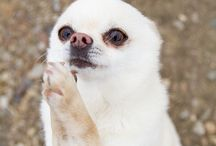 Chihuahua / by Marla Kapoor