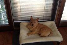 Cairne Terrier / Cairne Terriers and their Kuranda beds / by Kuranda Dog Beds