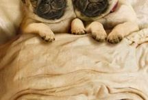 Pug life  / by Amber Grover