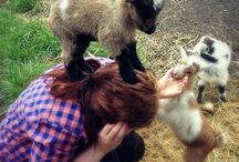 ...and this is why I love miniature goats. / by Catherine Scott
