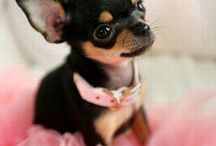 Chihuahua love <3 / by Stephanie Schindler