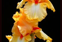 Iris and Roses / by Carolyn Hollingshead