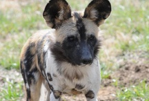 African Painted Dogs / by Tulsa Zoo