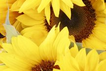 Sunflowers / by Hans Hickler