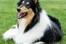 Collie / by Christin Olofsson