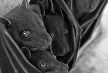 I love bats!! / I love these little creatures. I was totally awe struck with the fruit bats of Australia. / by Lolly McMillan