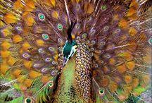 Peafowl / by Krysta Robinson