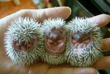hedgehogs. / by Caren Vestal