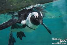 Penguin Perfection / Pictures of the African black-footed penguins that live at the Children's Zoo at Celebration Square! / by Children's Zoo at Celebration Square