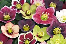 garden of helleborus / by Orn