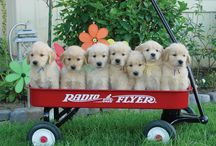 Golden Retriever Puppies! / if this won't cheer you up, nothing will.... / by The Daily Golden