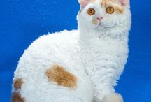 SELKIRK REX / by Cat Fanciers Association