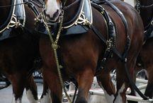 Budweiser Horses / by Mary Flint Vandenabeele