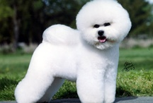 Bichon Frise / For the love of a Bichon. Once you have one, you'll be in love forever.  / by Maria Jenny