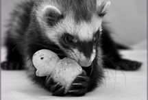 Ferret ♥ / Goodies for Viktor (And some cute photos of other ferrets too) / by Marlena Melendez Hawk