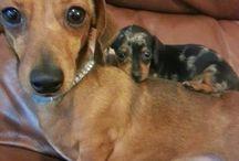 Cute Dogs :: Dachshund / by Tawny Sanders