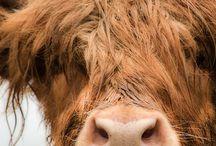 I love cows / by marycarmen HENRI