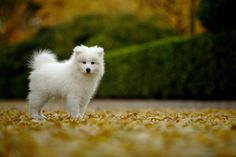Our future Samoyed puppy - Monaco