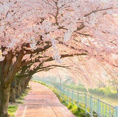 Cherry Blossomin Sakura Hana