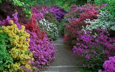 For a few weeks in May of each year, Leonardslee Gardens in West Sussex, UK, erupt into a spectacular display of the most amazing color combinations of flowering rhododendrons and azaleas.