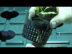 Transplanting Clones into a Hydroponic DWC (pepper bhut jolokia) - YouTube
