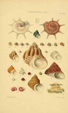 Thesaurus conchyliorum, or, Monographs of genera of shells v.5 plates.  London :Sowerby ...,1847-1887.