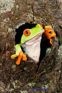 Red-eyed Tree Frog (Agalychnis callidryas) looking out of a tree hole.