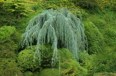 weep beauti, garden lover, ornament tree, cedrus atlantica