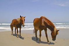 Wild Horses in Corolla, NC