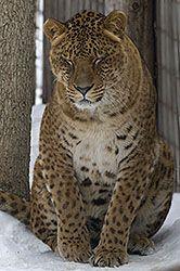 Jaglions - a hybrid cat.  Father is a jaguar, mother is a lion.