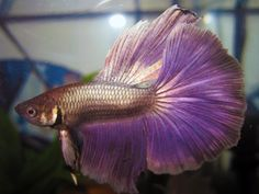 A Halfmoon #Betta Fish that you HAVE to see!