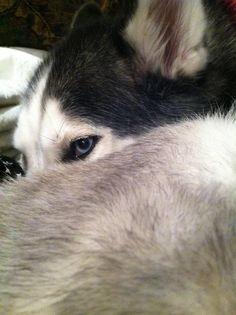 Siberian husky, Husky