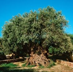 The most ancient olive tree in the world!! With age between 2000-5000 years (can not be accurately determined), maximum diameter of 4,53 m at the base, 12,55 m perimeter and interior trunk able to fit something less than ten people. This tree has been designated World Natural Heritage Site and its branches crowned some of the Olympic athletes in Athens. This ancient olive tree, one of dozens that adorn the Cretan countryside, located in Upper Village Vuves Chania ... and still bears fruit!